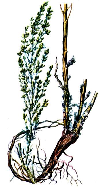 цитварное семя от паразитов отзывы