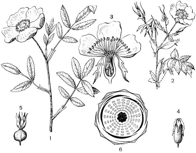 6 - диаграмма цветка розы