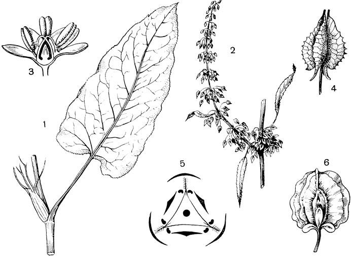 Семейство Гречишные - Polygonaceae [1971 Гордеева Т.Н., Круберг Ю ...