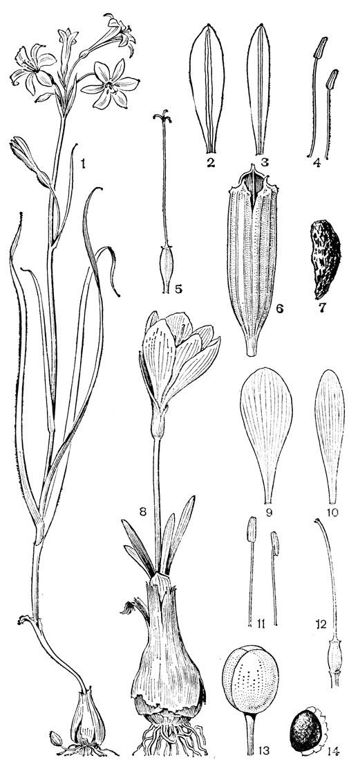 Порядок лилейные (Liliales)