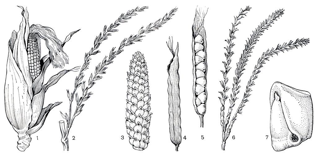 Кукуруза и близкие к ней роды
