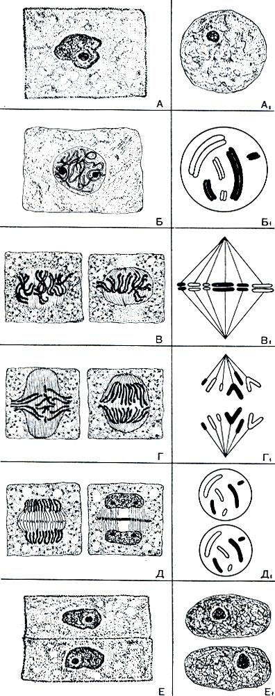 Митотическое деление клетки
