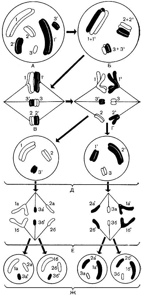 Схема поведения хромосом '