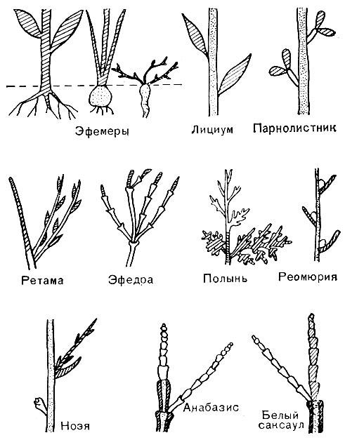 разных пустынных растений
