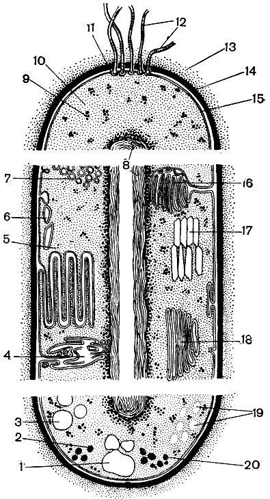 строения бактериальной