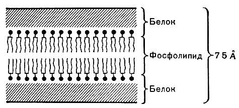 Схема строения цитоплазматической мембраны