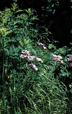 Порядок гераниевые (Geraniales) [1981 - - Жизнь растений. Том 5 ...
