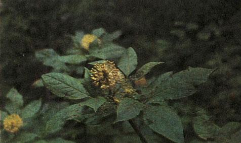 Порядок аралиевые (Araliales) [1981 - - Жизнь растений. Том 5 ...