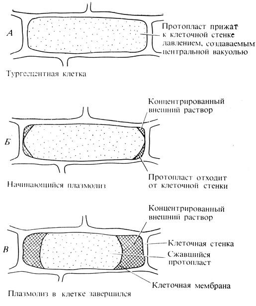 Esau Plant Anatomy